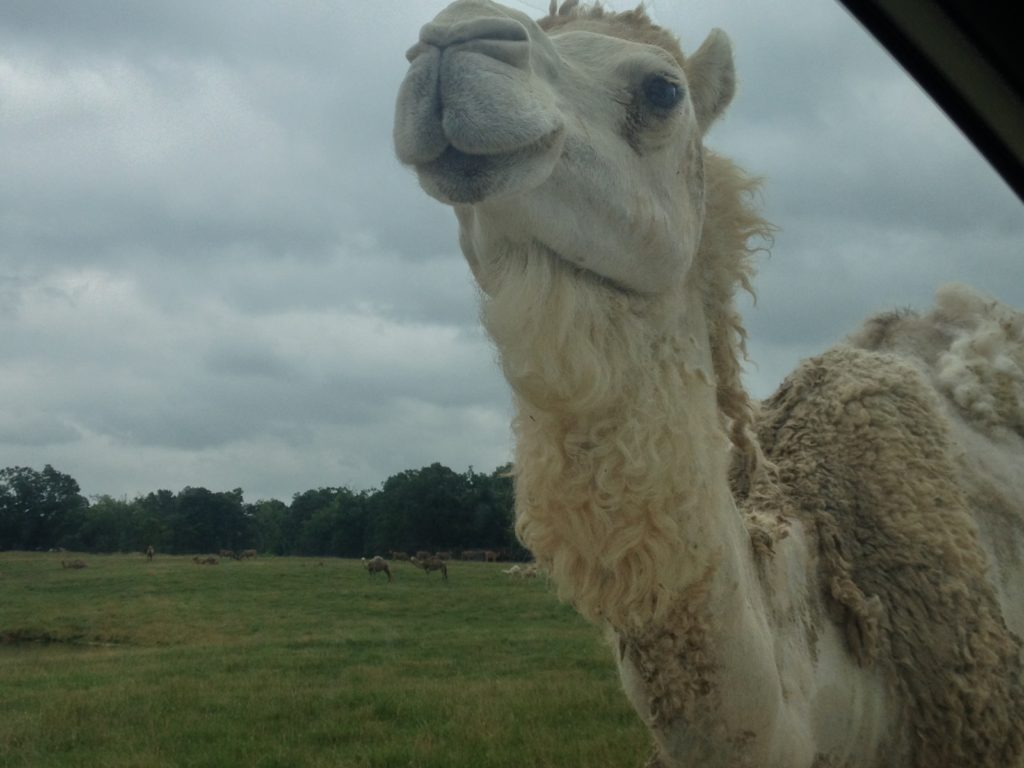 Camel in Gentry