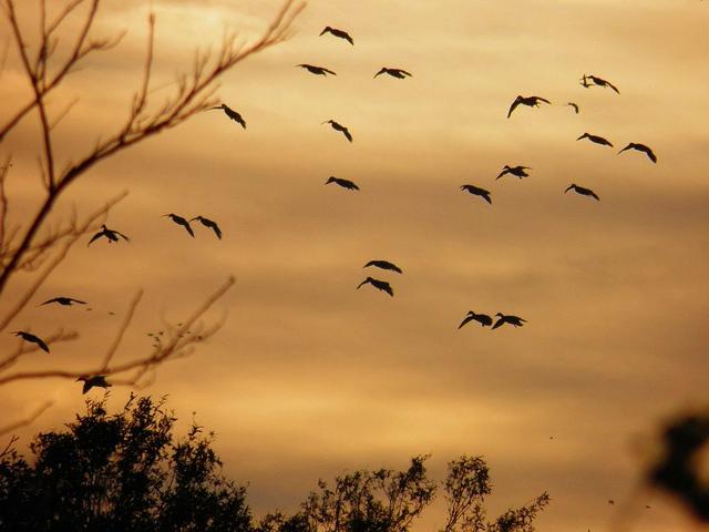 Ducks flying sunset