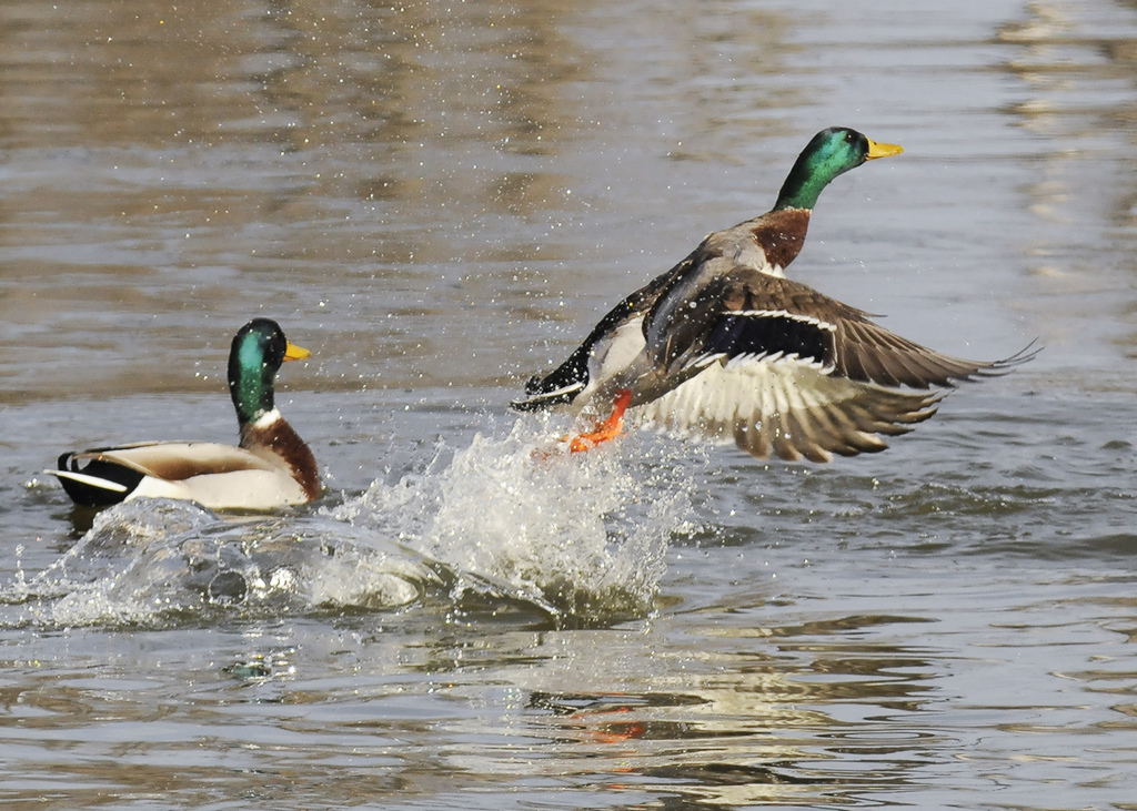 Mallard Ducks - Only In Arkansas - Stuttgart