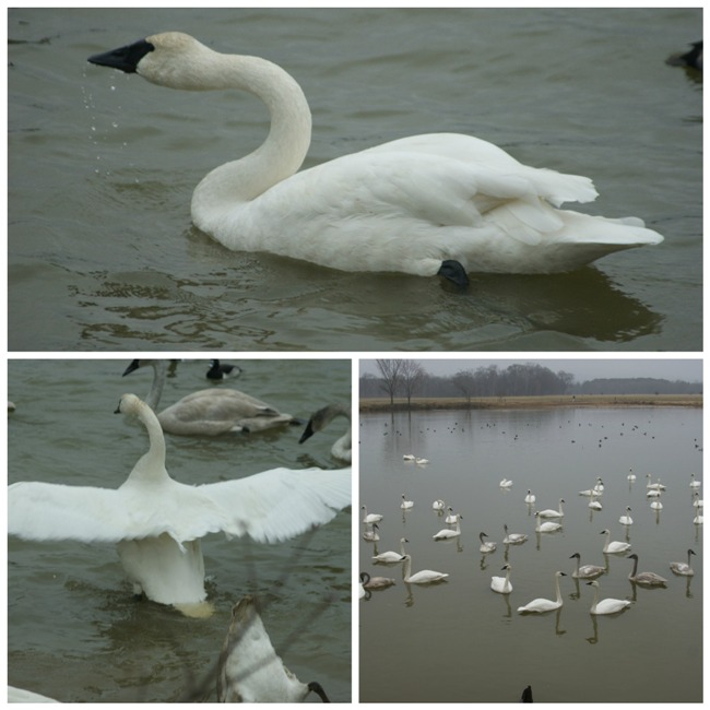 swan collage 3