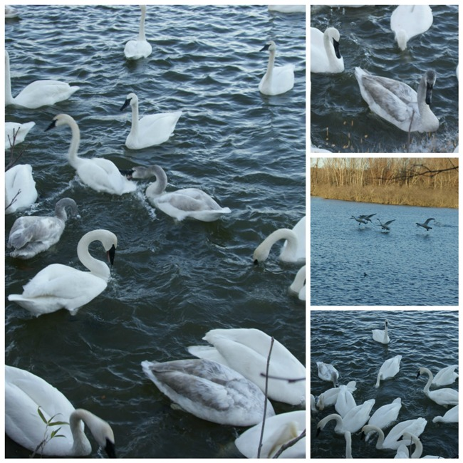 swancollage1