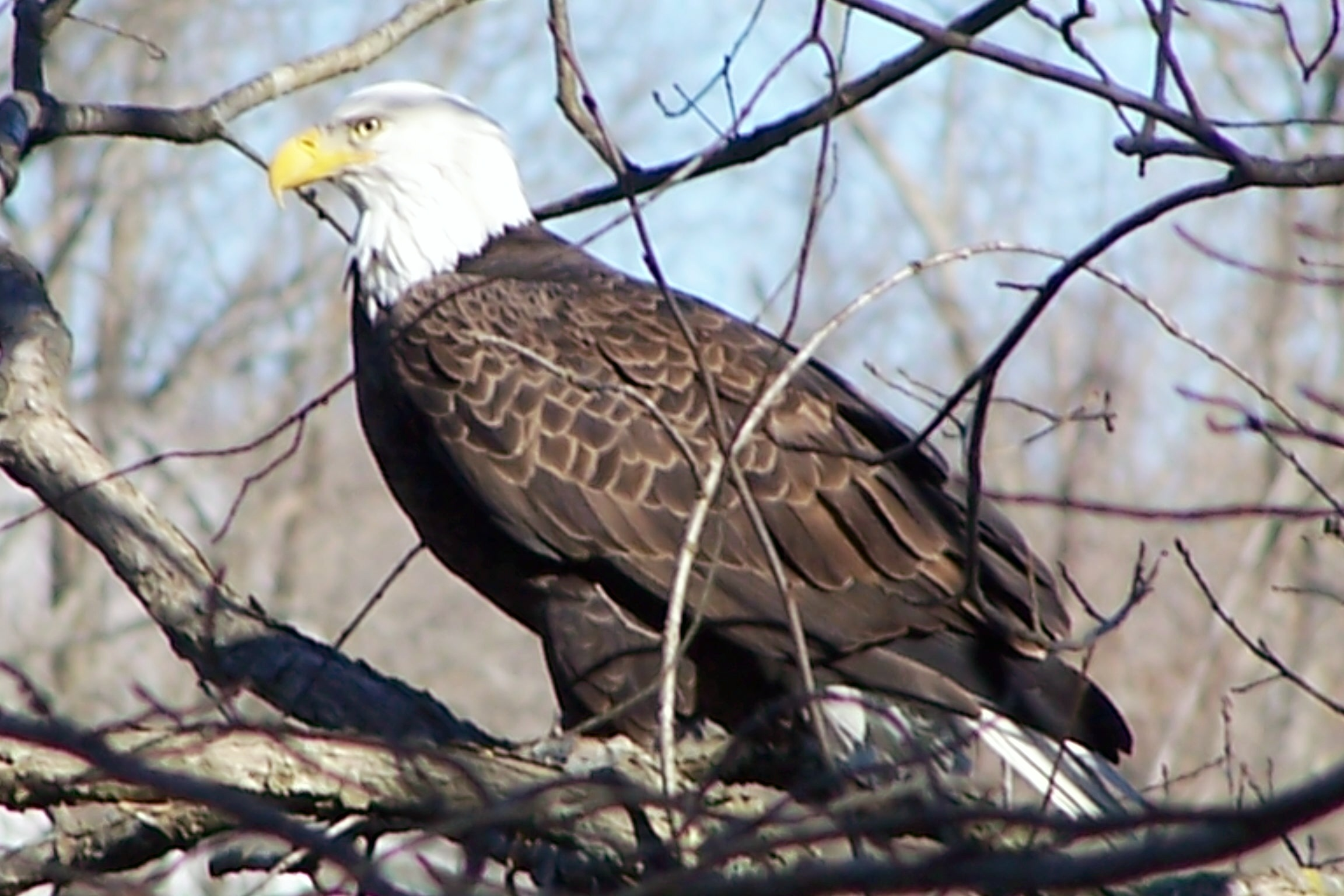 Eagle Watching - Only In Arkansas
