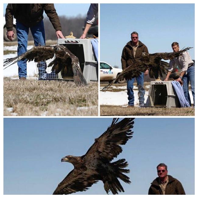 Raptor Rehab Bald Eagle Release