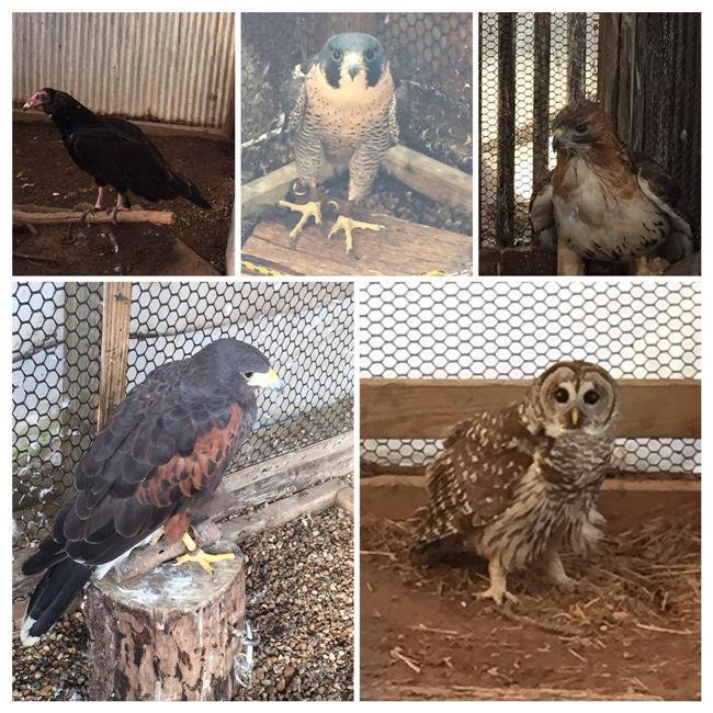 birds at raptor rehab collage