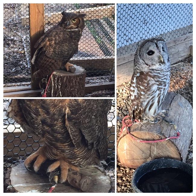 owls at raptor rehab collage