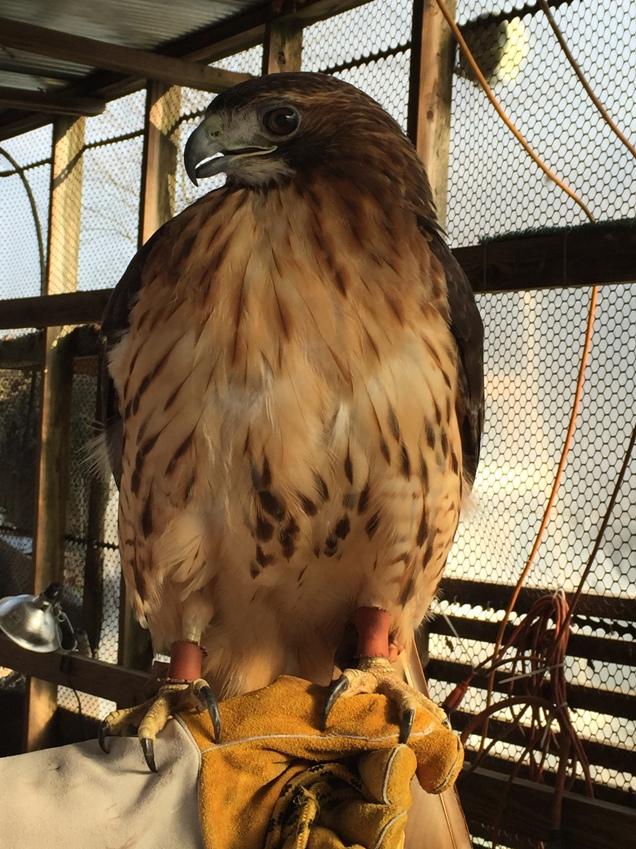 red tail hawk raptor rehab