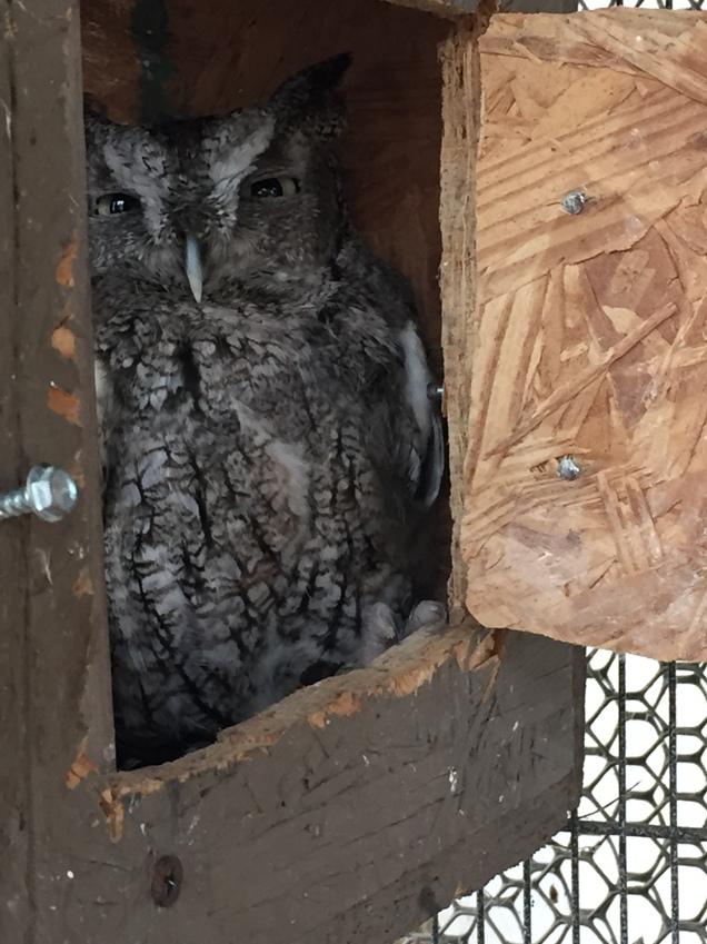 screech owl raptor rehab
