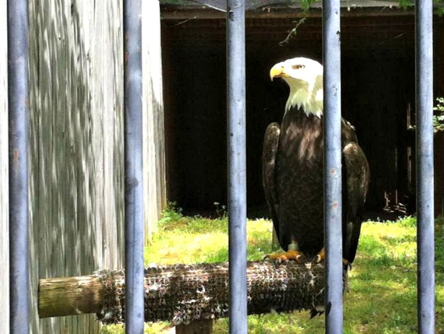Delta Rivers Nature Center Eagle
