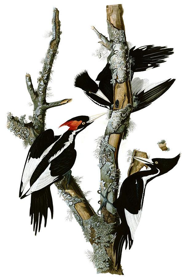 Audubon Campephilus_principalis