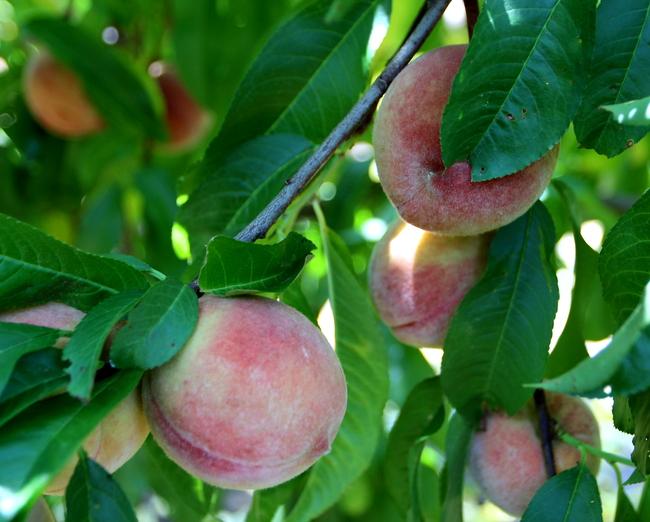 Lamar Peach Pickin Paradise by Kat Robinson (4)
