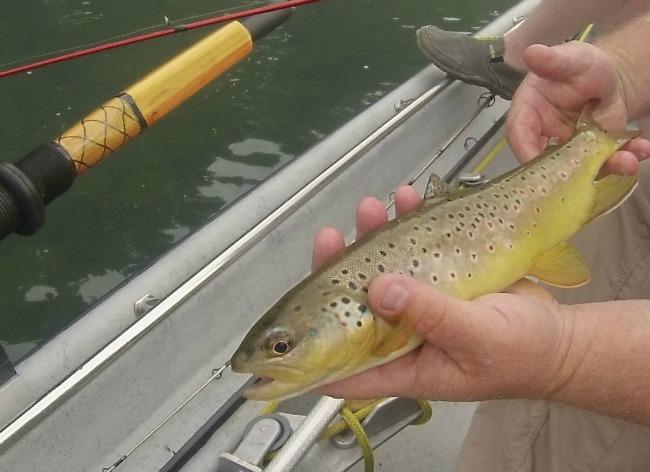brown trout arkansas
