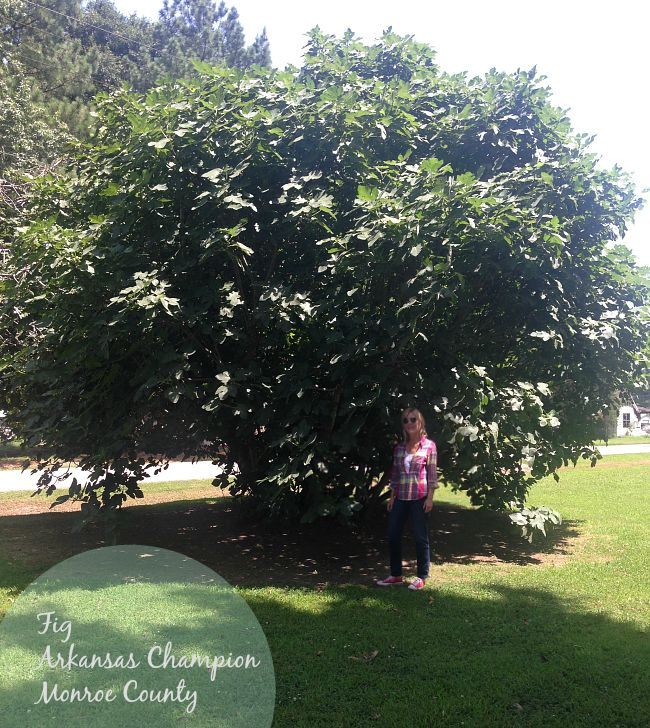 Fig, Monroe County, Arkansas Champion