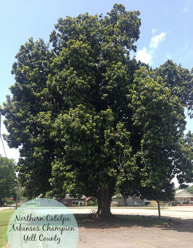 Northern Catalpa, Yell County, Arkansas Champion