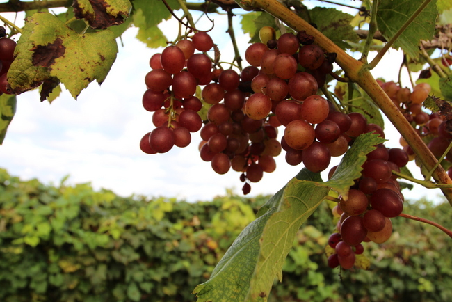 Arkansas Saturn Grapes on vine