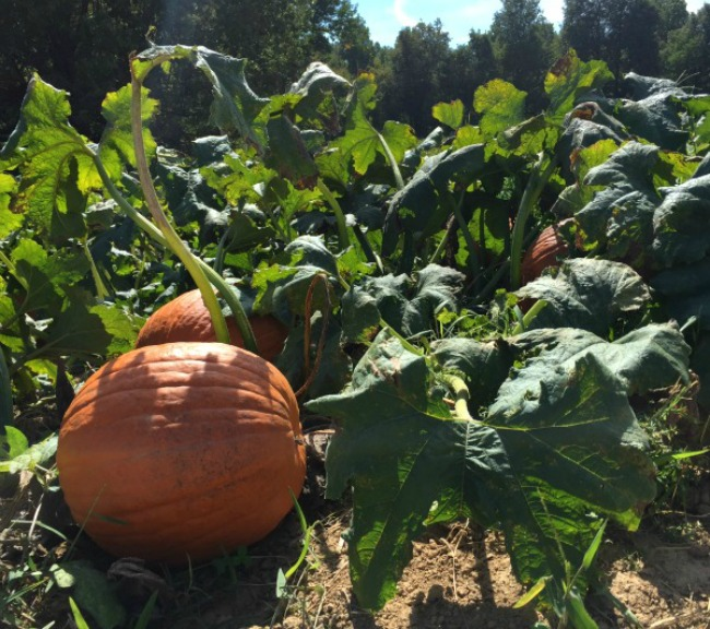 Pumpkin Hollow Pumpkin Patch