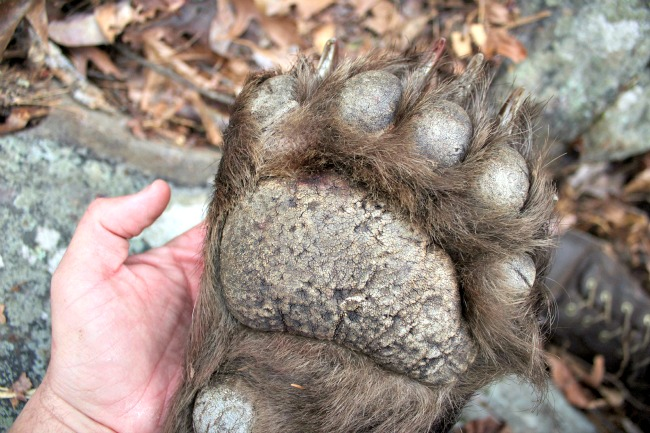 Arkansas Black Bear Paw