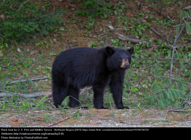 Black Bear Standing Up