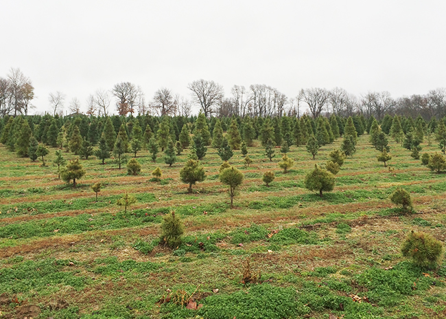 Christmas Trees at Wonderland Christmas Tree Farm