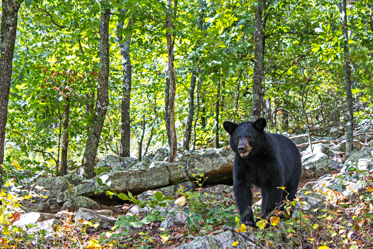 Ozark Mountains Animals