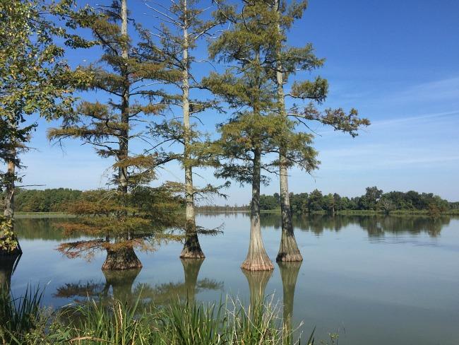 Big Lake - cypress trees