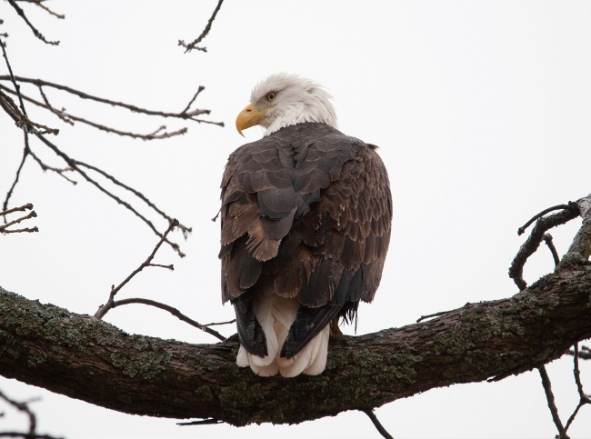 Bald Eagle - Arkansas Weekend Planner