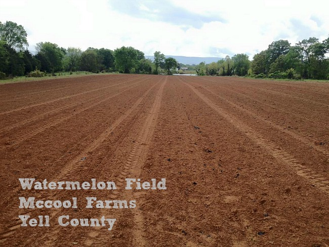Spring Planting Watermelon Field
