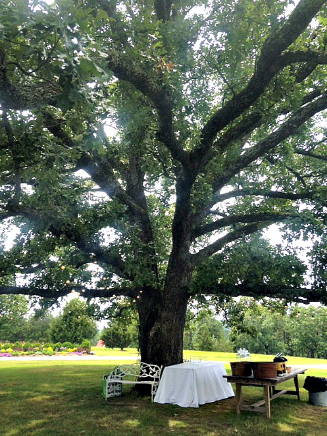 Arkansas Oak