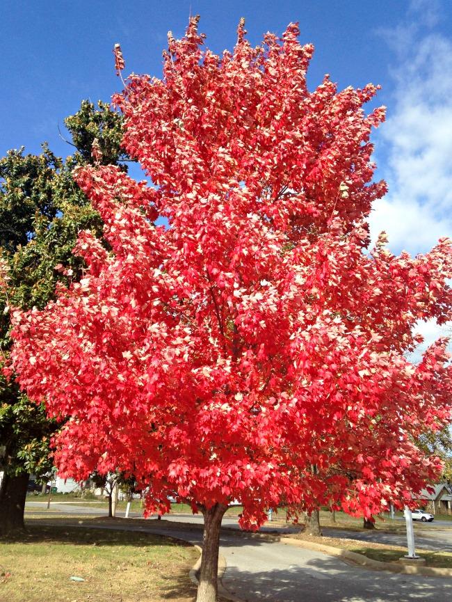 Arkansas Trees Only In Arkansas