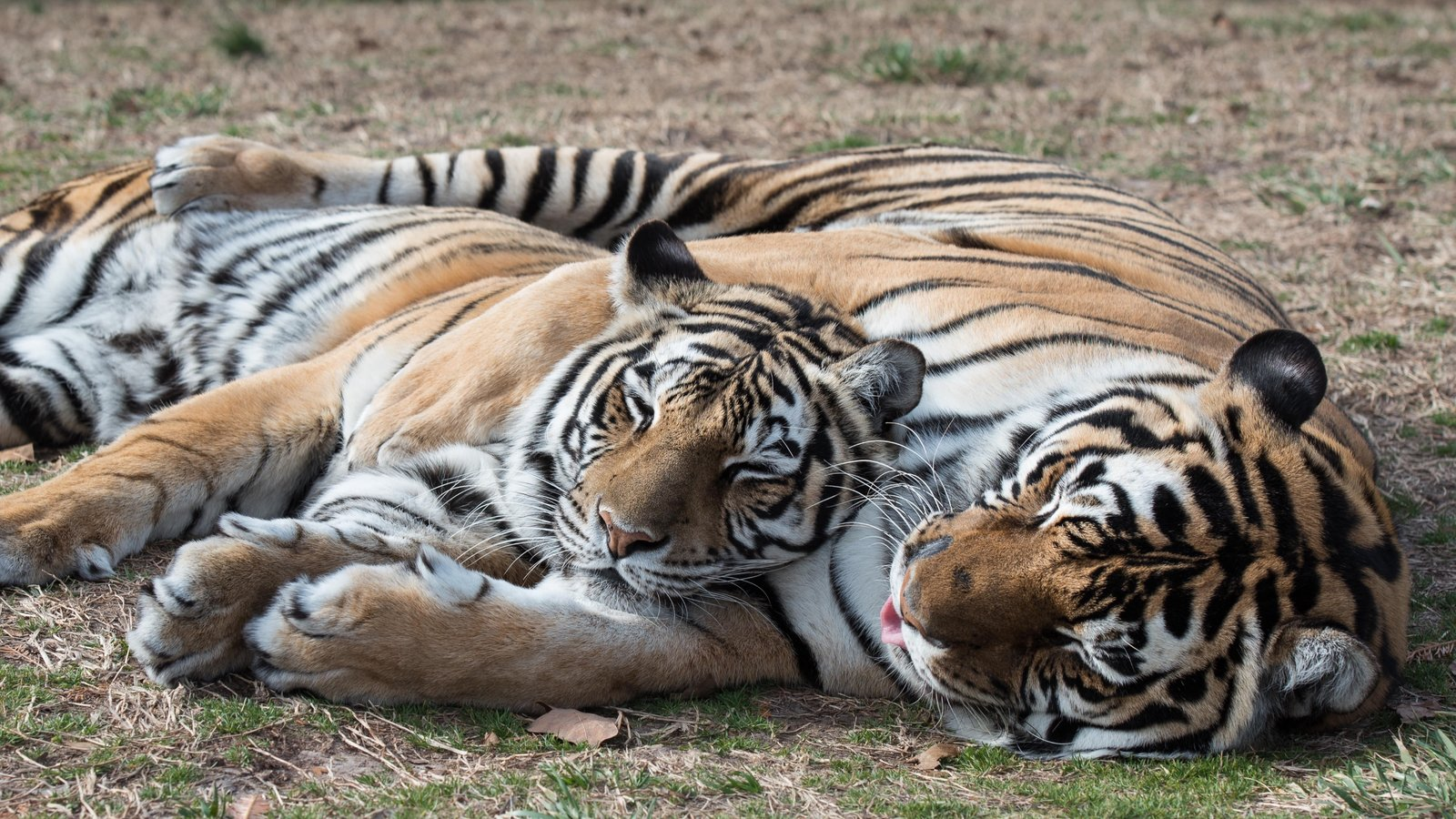 animals arkansas wild wildlife creek state natural tigers bears lions refuge turpentine seeing usa zoo september places