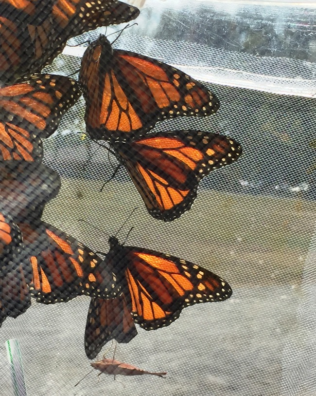 ecofest-monarch-butterfly-tent
