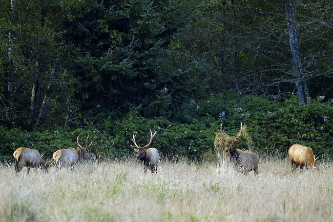 elk-in-field