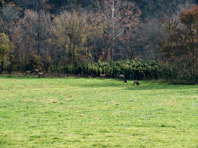 grazing-elk