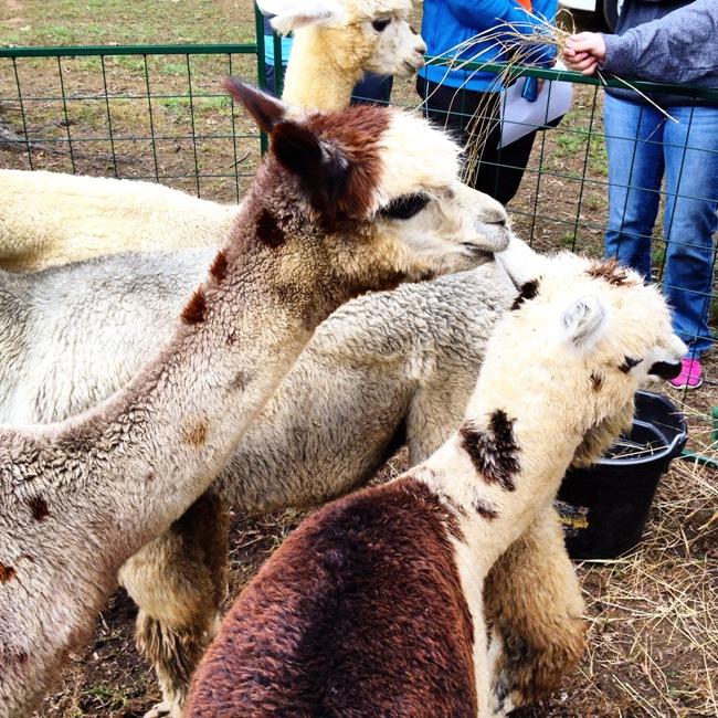 ecofest-alpacas
