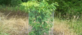 Ozark Chinquapin Tree