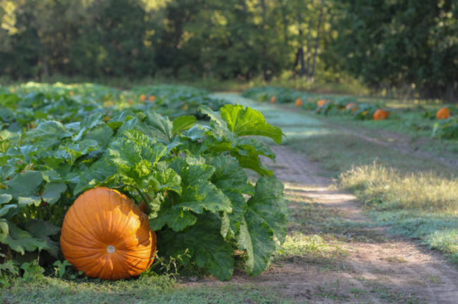 pumpkin-apple-agritourism-3