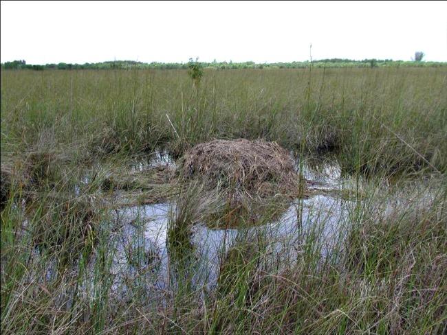 alligator-nest-and-hole-nps