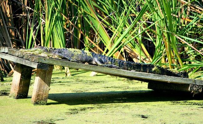 sun-bathing-alligator