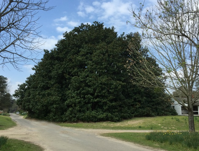 Famous And Historic Trees Of Hempstead County Only In Arkansas