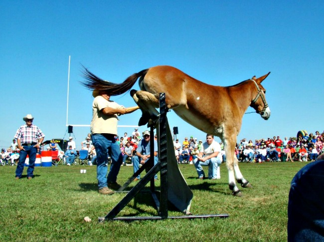 Mules Can Jump! All About Arkansas Mules | Only In Arkansas