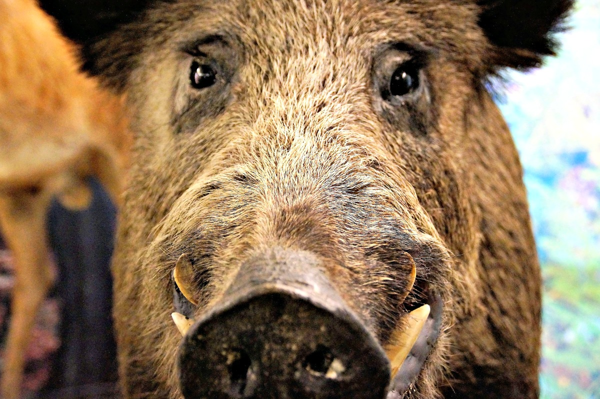 The Story Behind the Real Razorbacks   Only In Arkansas