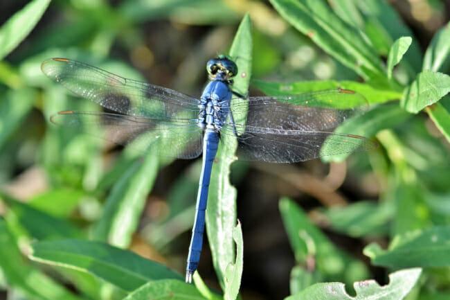 Dragonflies and Damselflies in Arkansas