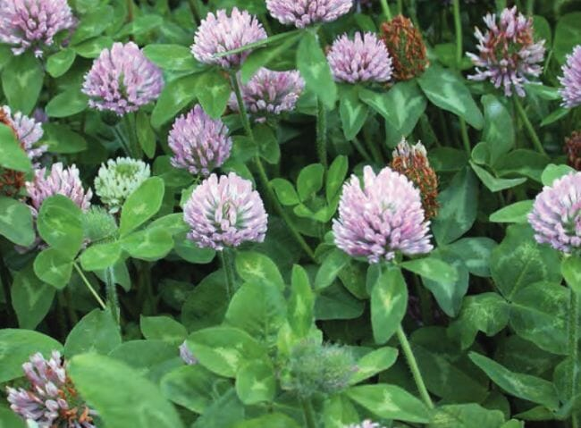 Weeds you can eat - red clover