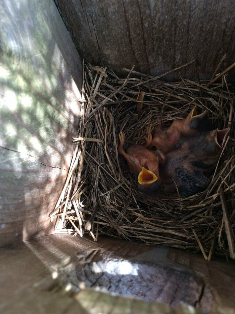 Rescue a Baby Bird hatchlings