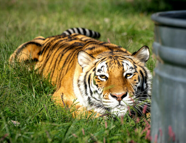 Turpentine Creek: Where Tigers are Kings